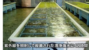 紫外線を照射して殺菌された清浄海水に48時間